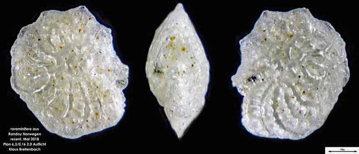 Bild 15 Foraminifere aus Radoy, Norwegen. Art: Elphidium sp.