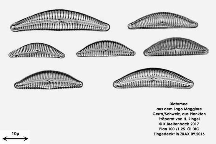 Bild 6 Diatomee aus dem Lago Maggiore/Gerra Schweiz, Art vermutlich Cymbella spec.