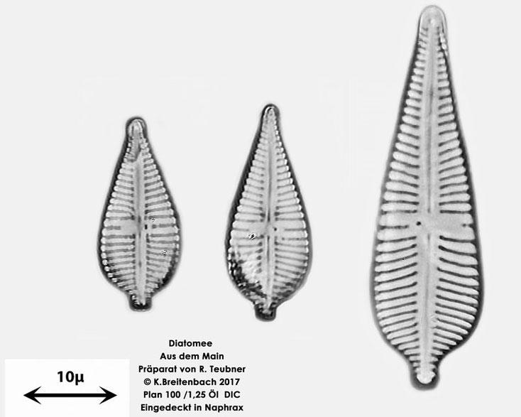 Bild 15 Diatomee  aus dem Main km 69,4 vermutlich Gomphonema augur