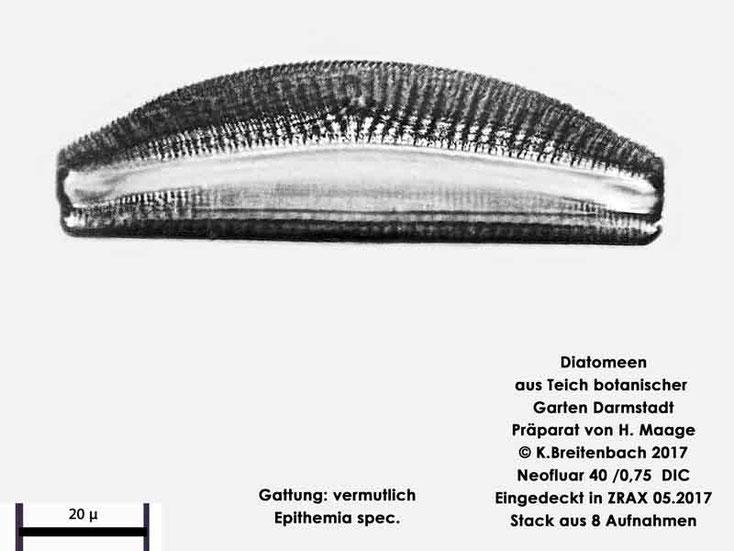 Bild 13 Diatomee aus dem botanischen Garten in Darmstadt, Gattung: vermutlich Epithemia spec.
