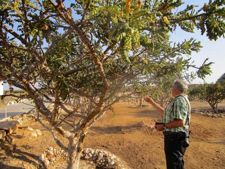 Oman Uralub 2017; Ein Weihrauchbaum, das muß ich mir genauer ansehen