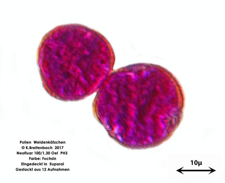 Pollen Weidenkätzchen von vermutlich Salix alba