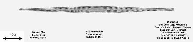Bild 37 Diatomee aus dem Lago Maggiore/Gerra Schweiz, Art vermutlich Synedra acus Kützing (1844)