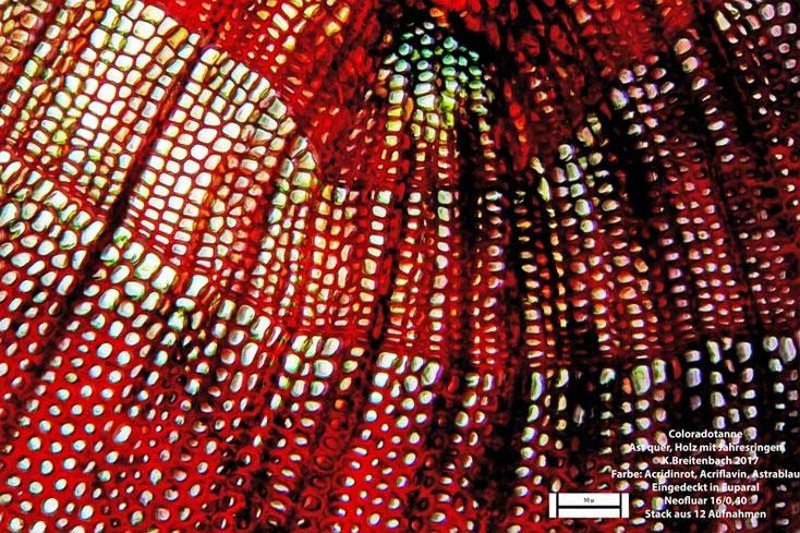 Coloradotanne (Abies concolor) Spross quer Holz mit Jahresringen