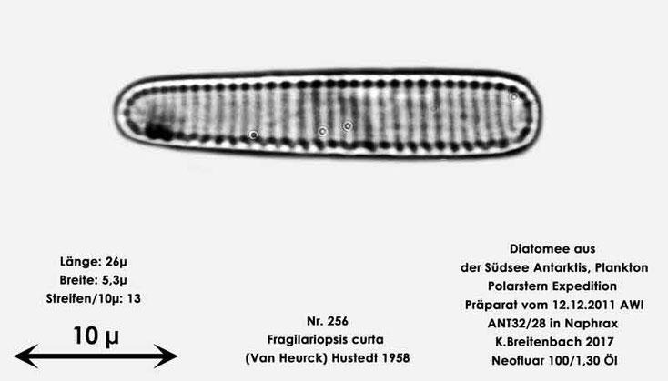Bild 19 Diatomee aus dem anarktischen Ozean Präparat: ANT32/28; Art: Fragilariopsis curta (Van Heurck) Hustedt 1958