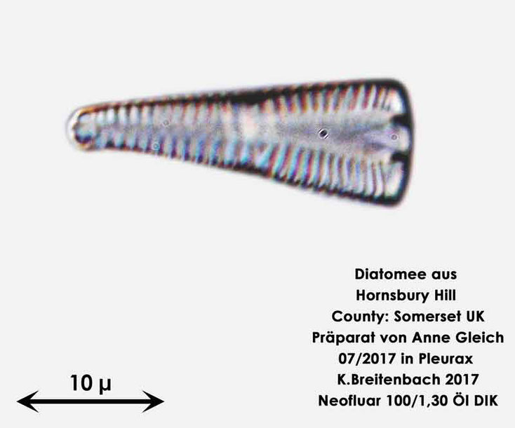Bild 27 Diatomee aus Hornsbury Hill, County Somerset UK, Gattung: wurde von mir nicht bestimmt