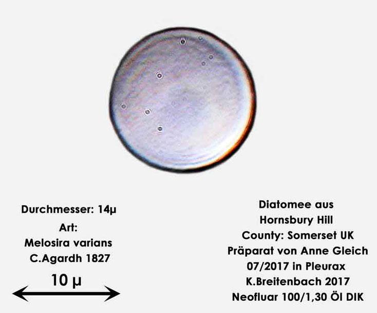 Bild 15 Diatomee aus Hornsbury Hill, County Somerset UK, Art: Melosira varians C.Agardh 1827