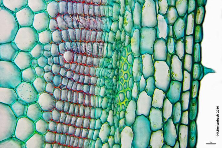 """Bild 11 Sprossquerschnitt des """"Klebrigen Salbei"""" (Salvia glutinosa)"""