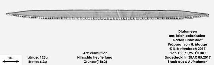 Bild 20 Diatomee aus dem botanischen Garten in Darmstadt, Art: vermutlich Nitzschia heufleriana Grunow(1862)
