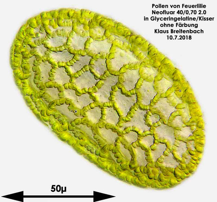 Feuerlilie (Lilium bulbiferum)