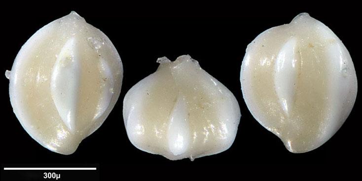 Bild 19 Foraminifere aus Maribago, Philippines; Gattung: Triloculina sp (d'Orbigny 1826)