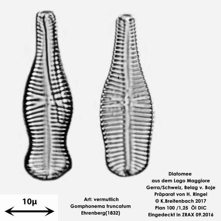 Bild 51 Diatomee aus dem Lago Maggiore/Gerra Schweiz, Art: vermutlich Gomphonema truncatum (Ehrenberg (1832)