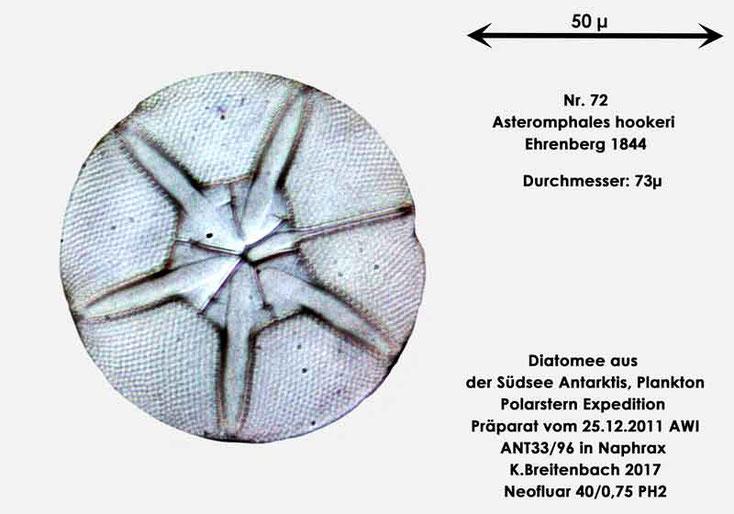 Bild 32 Diatomee aus dem anarktischen Ozean Präparat: ANT33/96; Art: Asteromphales hookeri Ehrenberg 1844