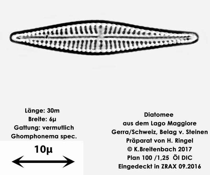 Bild 32 Diatomee aus dem Lago Maggiore/Gerra Schweiz, Gattung vermutlich Ghomphonema spec.