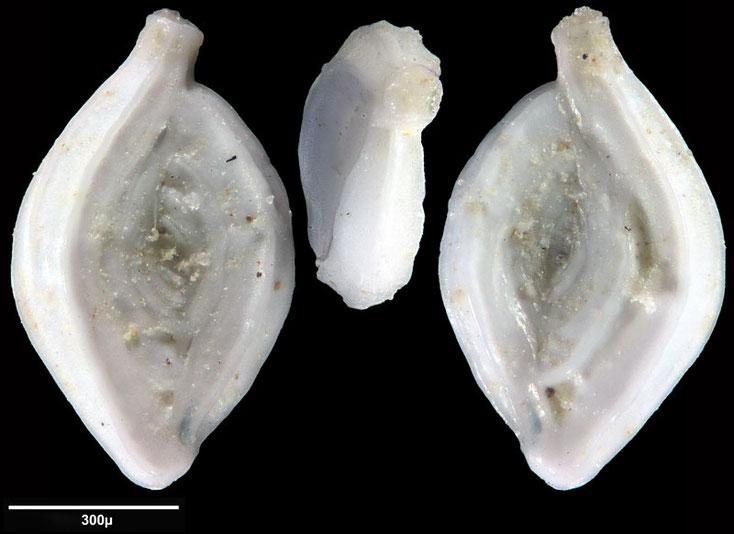 Bild 17 Foraminifere aus Maribago, Philippines; Gattung:  Spiroloculina sp (d'Orbigny, 1826)