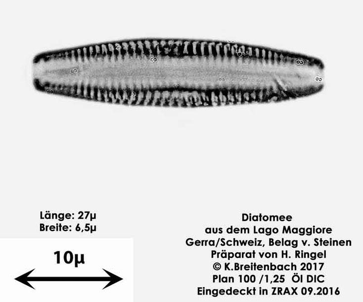Bild 40 Diatomee aus dem Lago Maggiore/Gerra Schweiz, Gattung mir unbekannt