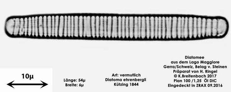 Bild 30 Diatomee aus dem Lago Maggiore/Gerra Schweiz, Art vermutlich Diatoma ehrenbergii Kützing 1844
