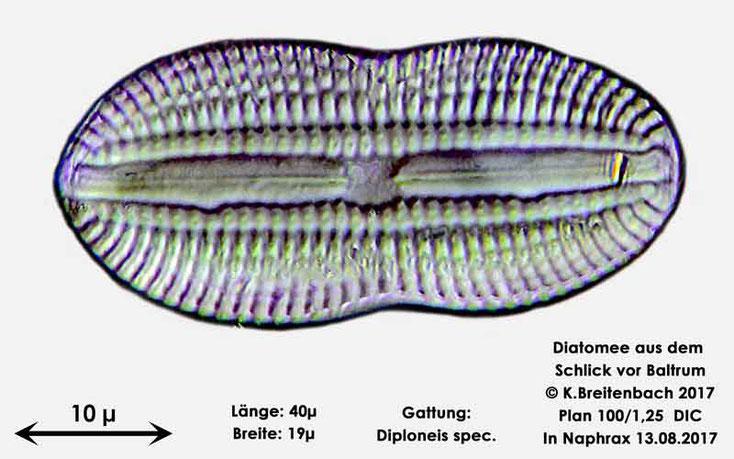 Bild 8 Diatomee aus dem Watt vor Baltrum; Gattung: Diploneis spec.