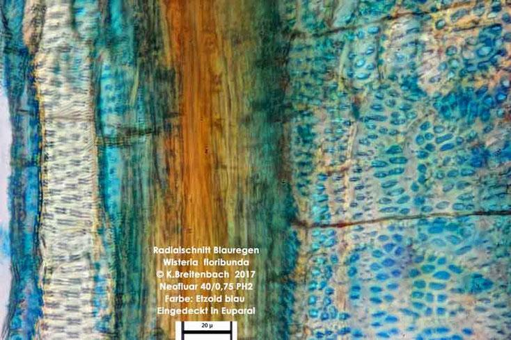 Bild 7 Japanischer Blauregen (Wisteria floribunda) Radialschnitt