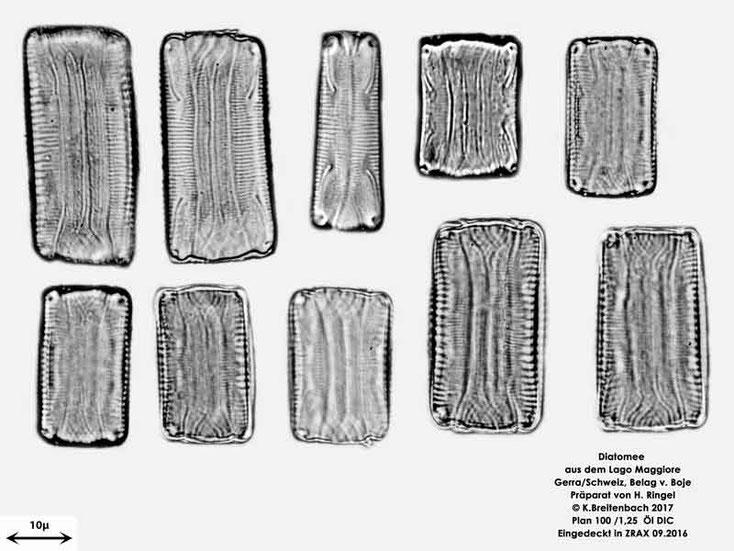 Bild 56 Diatomee aus dem Lago Maggiore/Gerra Schweiz, Gattung mir unbekannt