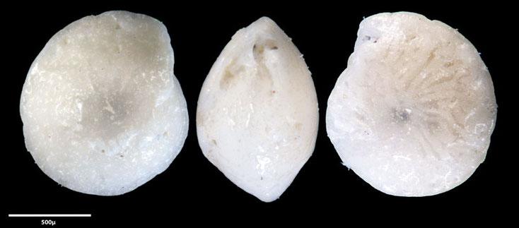 Bild 7 Foraminifere, aus Sand vom Strand Flic en flac in Mauritius; Genus: Amphistegina (d'Orbigny 1826) sp