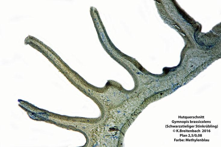 Hutquerschnitt, 50µ dick, vorher in PEG eingebettet, geschnitten auf Handmikrotom