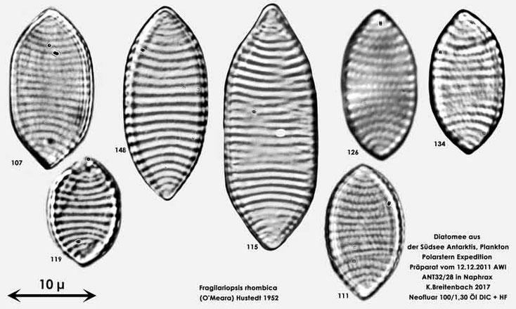 Bild 13 Diatomeen aus dem anarktischen Ozean Präparat: ANT32/28; Arten: Fragilariopsis rhombica (O'Meara) Hustedt 1952