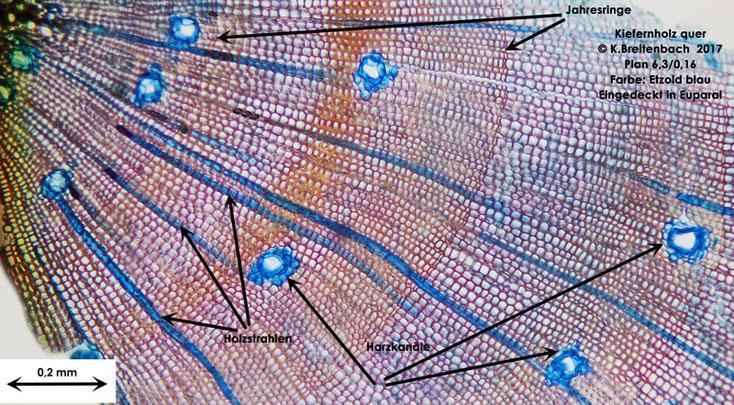 Kiefer im Querschnitt, Etzold blau gefärbt, mit 6,3 Planobjektiv im Durchlichtmikroskop