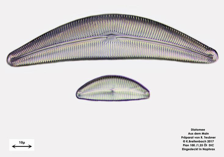 Bild 5 Diatomeen aus dem Main km 69,4 Art: vermutlich Cymbella spec.