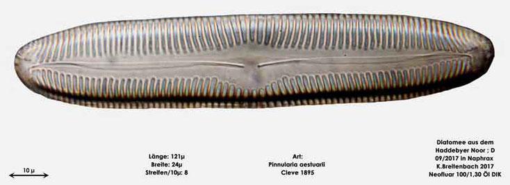 Bild 21 Diatomee aus dem Haddebyer Noor in Schleswig Holstein; Art: Pinnularia aestuarii Cleve 1895