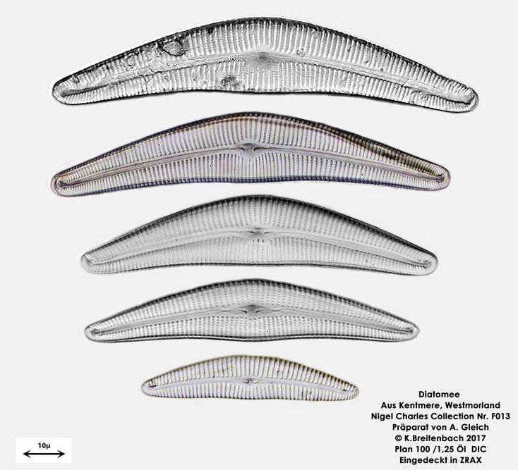 Bild 3 Bild 2 Diatomeen aus Kentmere Westmoreland UK Art: vermutlich Cymbella spec.