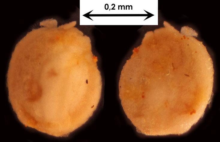 Foraminifere aus Waldlaubersheim vermutlich Quinqueloculina spec.