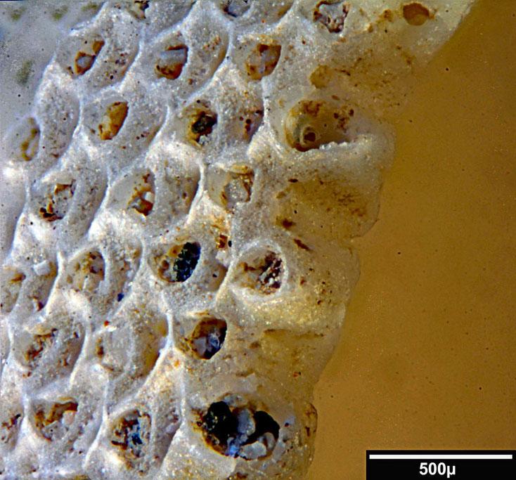 Bryozoa Cupuladria grandis (Canu + Bassler 1929)