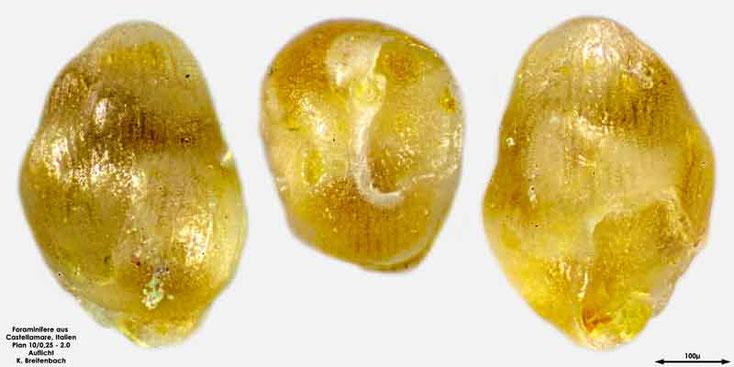 Foraminifere aus Castellammare; Gattung: Quinqueloculina sp.