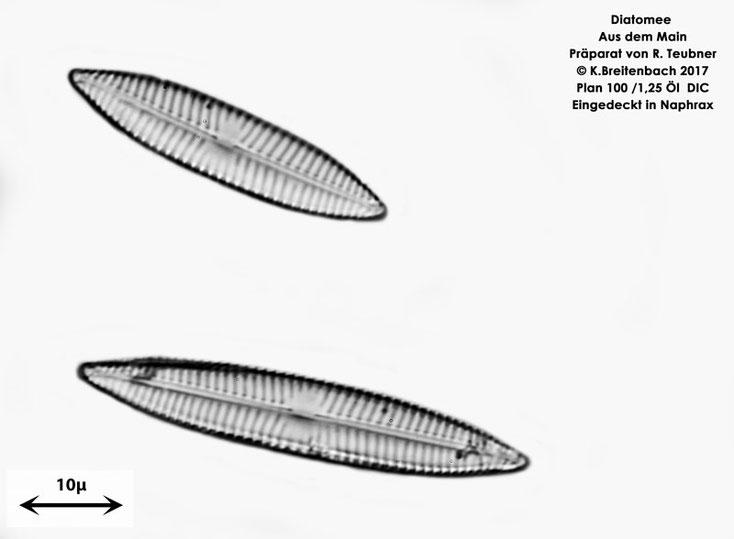 Bild 9 Diatomeen aus dem Main km 69,4 Art: vermutlich Navicula spec.