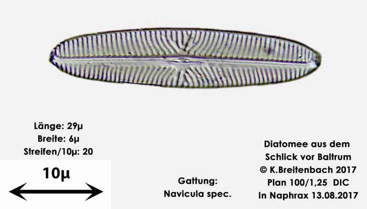 Bild 11 Diatomee aus dem Watt vor Baltrum; Gattung: Navicula spec.
