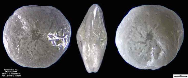 Bild 3 Foraminiferen aus dem Oman, Strand von Muskat. Gattung: Amphistegina sp.