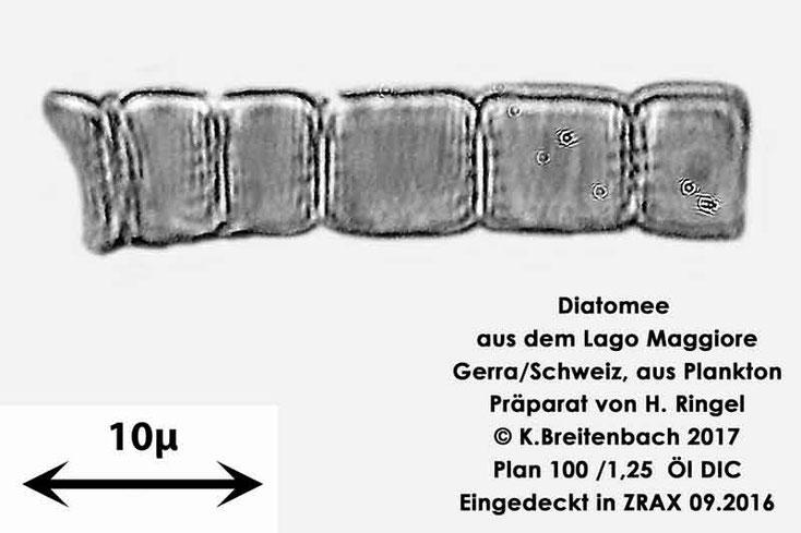 Bild 23 Diatomee aus dem Lago Maggiore/Gerra Schweiz, Art mir unbekannt