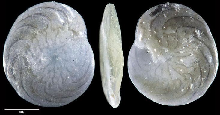 Bild 5 Foraminifere aus Maribago, Philippines; Gattung: Amphistegina sp (d'Orbigny, 1826)