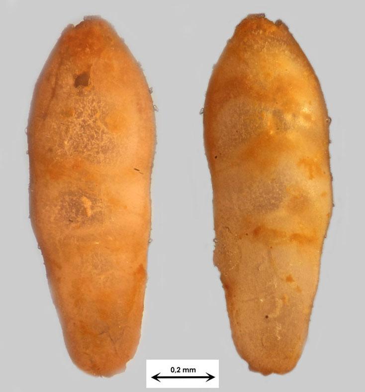 Foraminifere aus Waldlaubersheim vermutlich Pleurostomella spec.