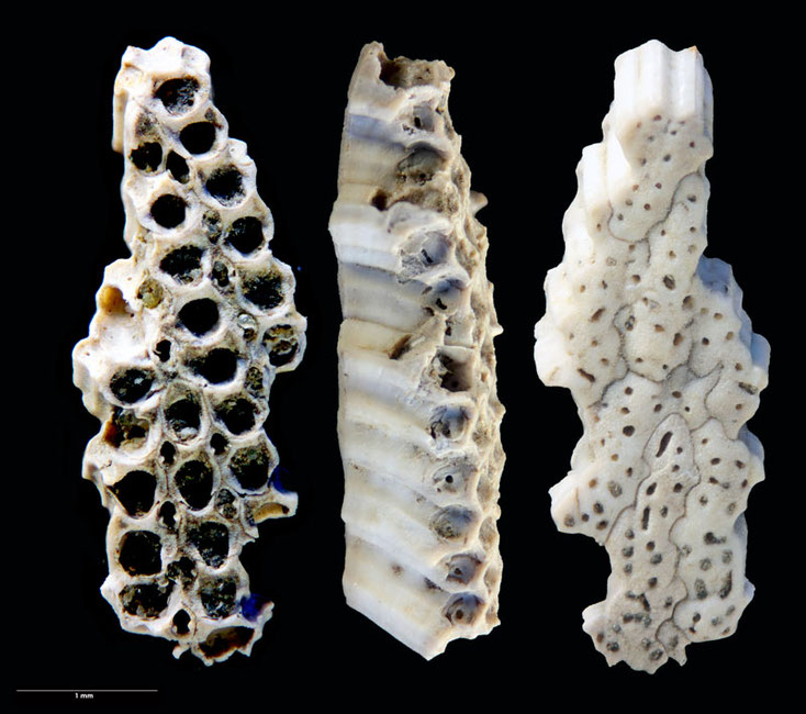 Bild 2: Bryozoa Lunulites sp, Sammlung Voigt, Senckenberg, Front, Side and Bottomview