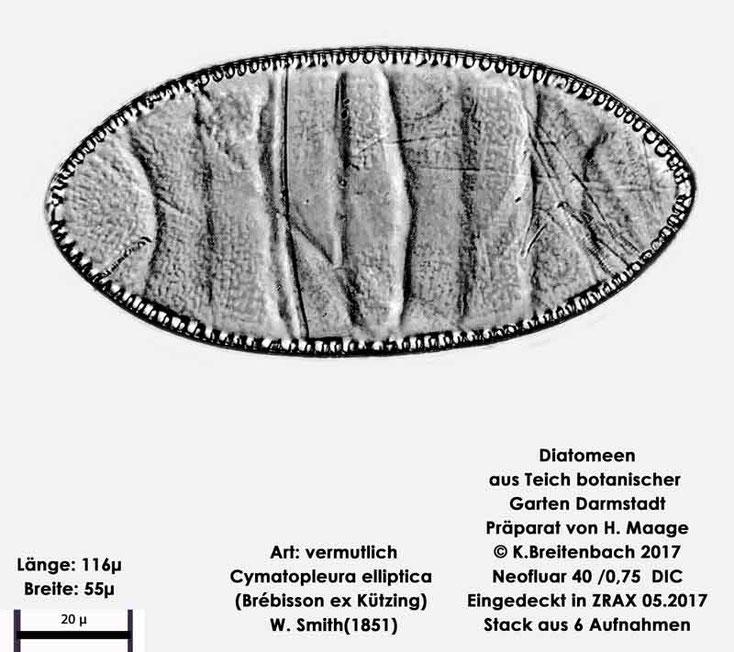 Bild 8 Diatomee aus dem botanischen Garten in Darmstadt, Art: vermutlich Cymatopleura elliptica (Brébisson ex Kützing) W. Smith(1851)