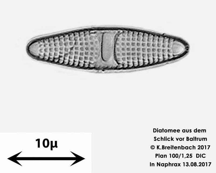Bild 22 Diatomee aus dem Watt vor Baltrum; Gattung konnte von mir nicht bestimmt werden