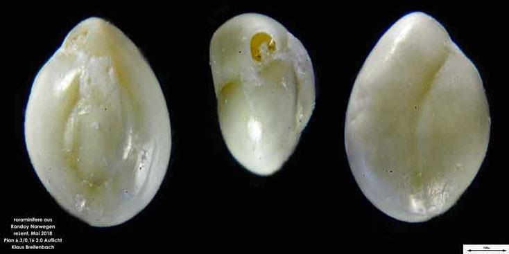 Foraminifere aus Radoy, Norwegen. Art: Triloculina sp.