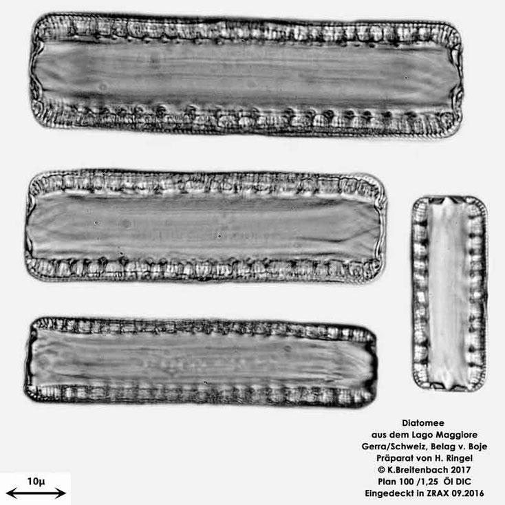 Bild 57 Diatomee aus dem Lago Maggiore/Gerra Schweiz, Gattung mir unbekannt
