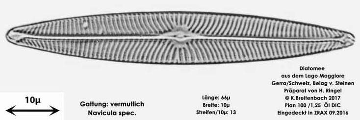 Bild 35a Diatomee aus dem Lago Maggiore/Gerra Schweiz, Gattung vermutlich Navicula spec.
