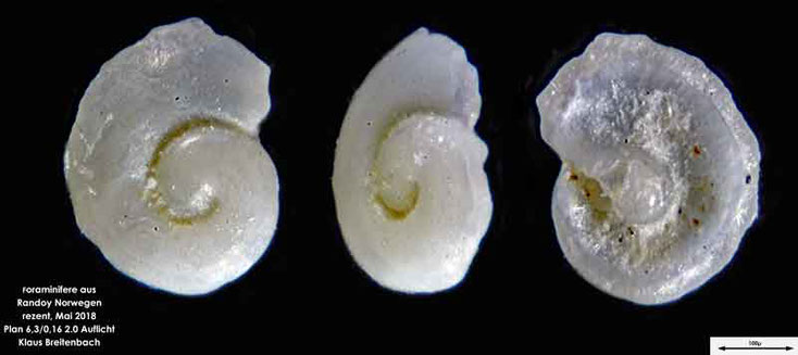 Foraminifere aus Radoy, Norwegen. Art: konnte nicht bestimmt werden