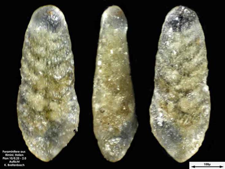 Foraminifere aus Strandsand aus Rimini; Gattung: Textularia sp.