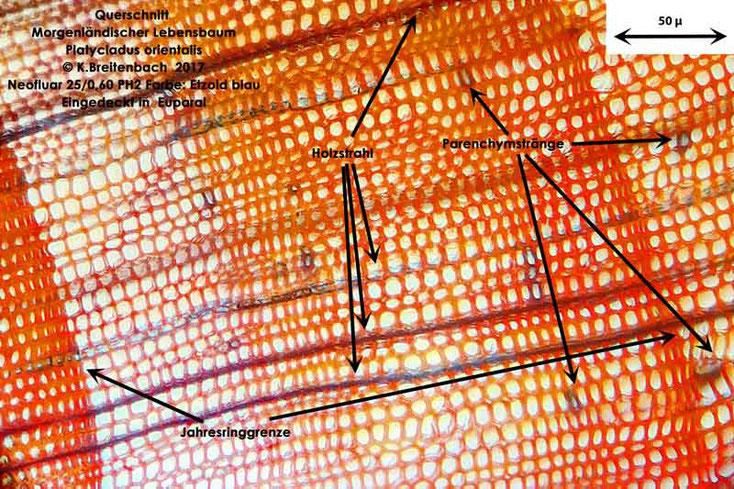 Bild 7 Morgenländischer Lebensbaum (Platycladus orientalis) Querschnitt mit Holzstrahlen und Jahresringen