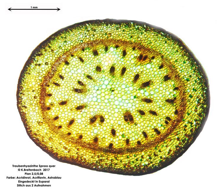 Traubenhyazinthe (Muscari armeniacum) Gesamtschnitt des Sprosses